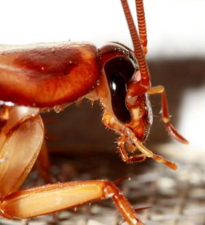 Cockroach_head