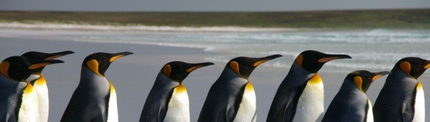 Falkland_Islands_Penguins_40